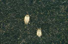 Book lice biopredation