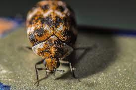 Carpet beetle biopredation