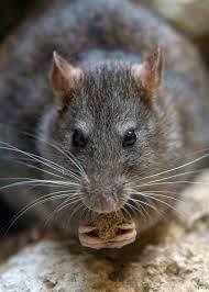 Rat biopredation