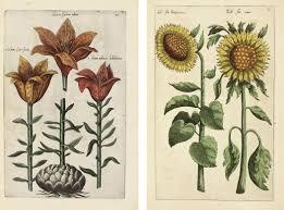 Florilegium flower paintings